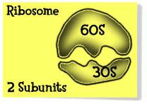 Ribosome1 jpg